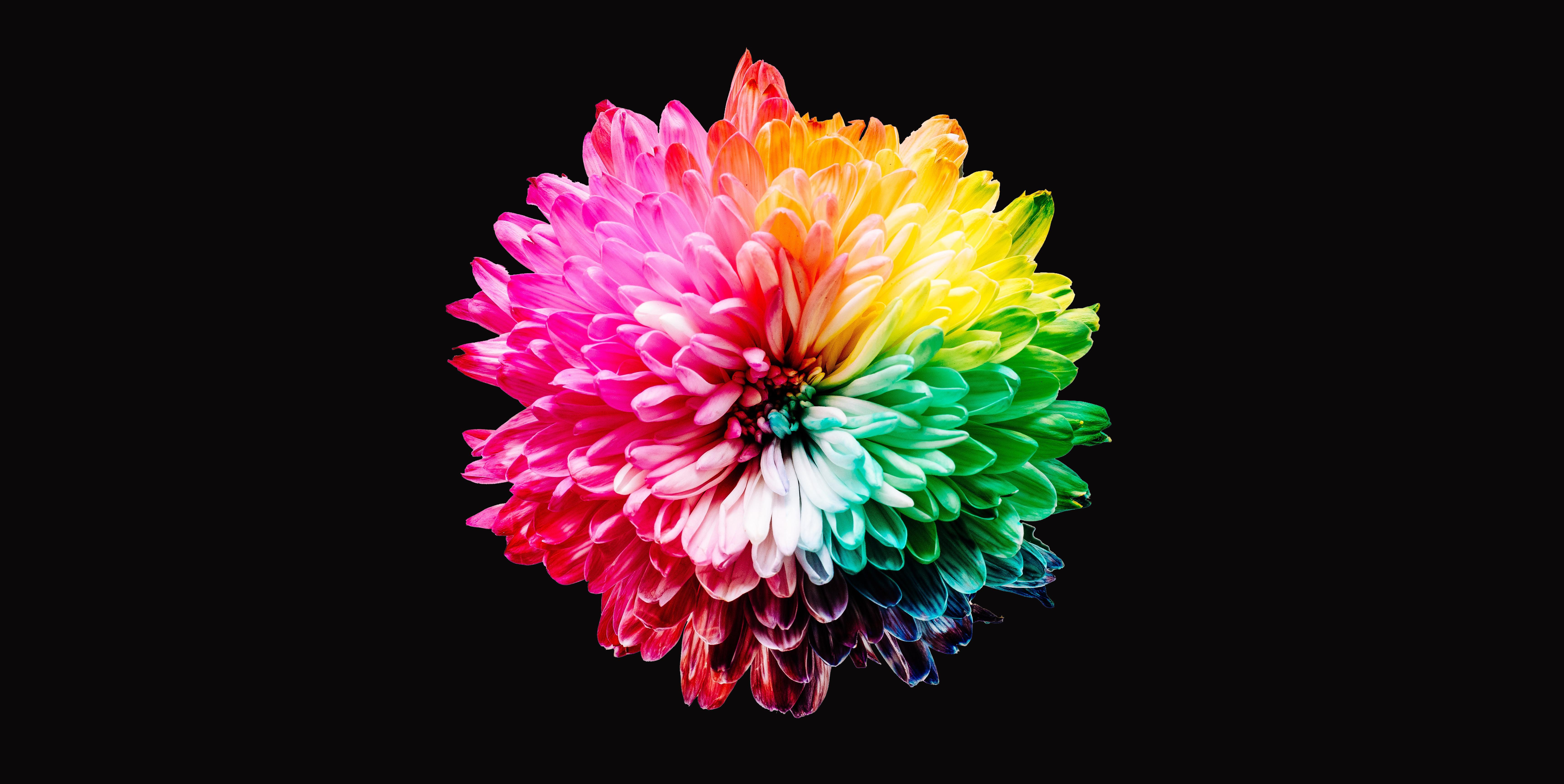 Colorful Flowers 4k Wallpaper Multicolor Black Background 5k Flowers 1258
