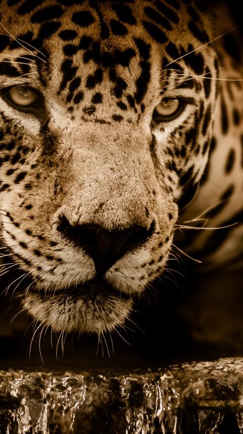 Jaguar 4K Wallpaper Wildcat Black background Wild