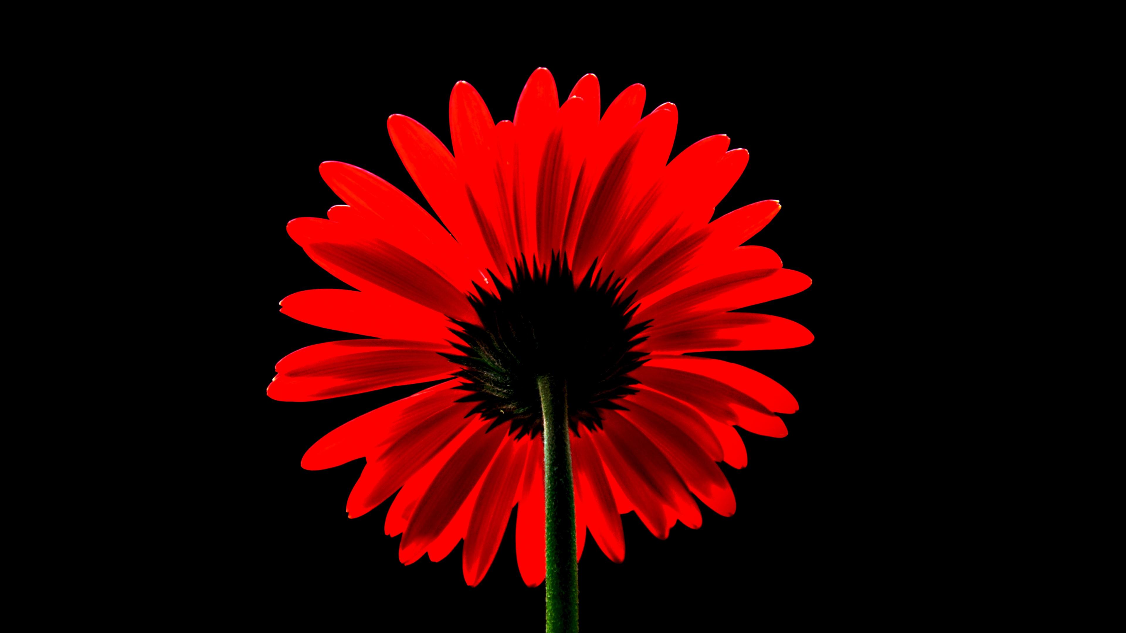 Red Gerbera Daisy 4k Wallpaper Red Flower Black Background Red Daisy 5k Flowers 1811