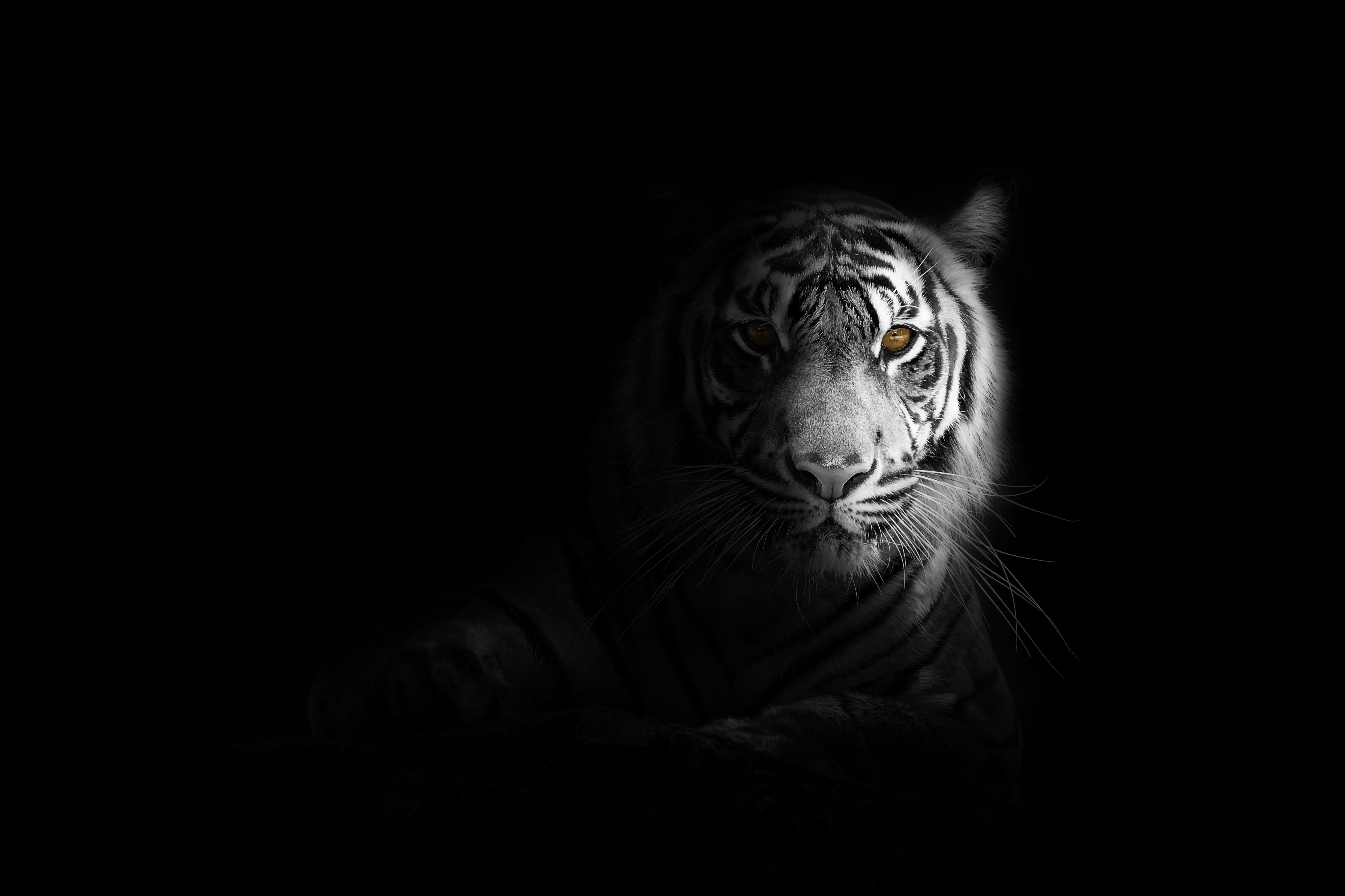 White Tiger 4k Wallpaper Bengal Tiger Black Background 5k Animals 1526