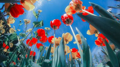 Tulips, Flower garden, Sunlight, Spring, Sunny day, Blues sky, Red Tulips, Yellow tulips, 5K