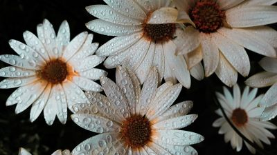 Daisy flowers, White flowers, Dew drops, Water drops