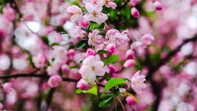 Cherry blossom, Pink flowers, Cherry bloom, Spring, 5K