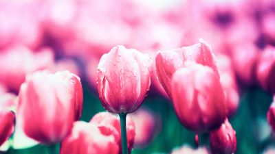 Red Tulips, Bloom, Spring, Blossom, Tulip flowers, 5K