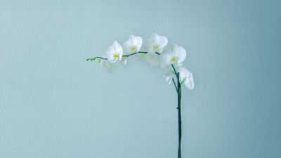 White Orchids, Orchid flowers, Branch, Artificial flowers, Stock