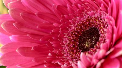 Gerbera Daisy, Daisy flower, Pink Daisy, Pink flower, 5K