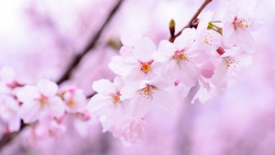 Cherry blossom, Cherry flowers, Spring, Pink flowers, Pink background, 5K