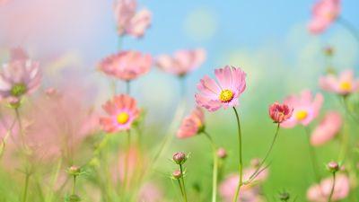 Flower garden, Cosmos flowers, Summer, Aesthetic, Daytime, 5K