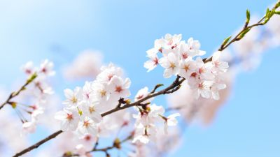 Cherry flowers, Cherry blossom, Spring, Plant, Branches, 5K