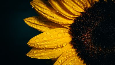 Sunflower, Black background, Rain droplets, Yellow