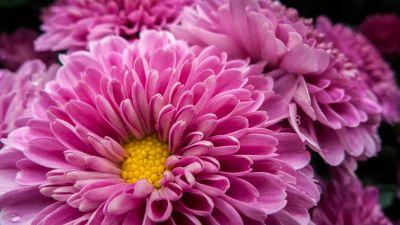 Chrysanthemum flowers, Pink flowers, Bloom, Blossom, Spring