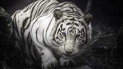 White Bengal Tiger, Monochrome, Rocks, Starring, White tiger