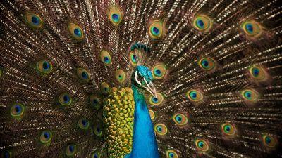 Peafowl, Peacock, Indian Peafowl, Peacock train, 5K