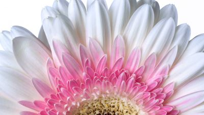 Gerbera Daisy, Daisy flower, White flower, White background, 5K