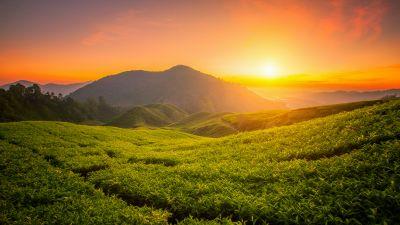 Tea form, Cameron Highlands, Sunrise, Landscape, Hills, Agriculture, Malaysia, Aesthetic, 5K