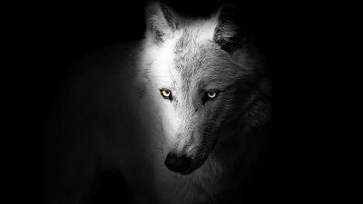 Wolf, Black background, Wild, 5K