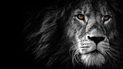 Lion, Wild, African, Predator, Black background