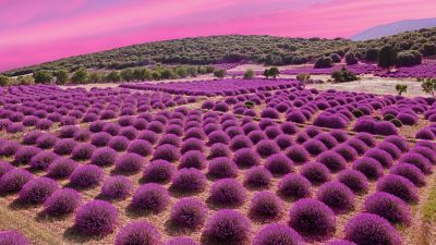 Lavender fields, Landscape, Pink sky, Garden, Blossom