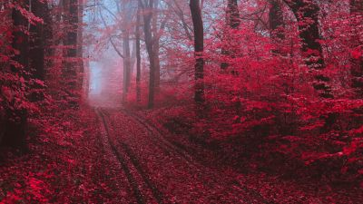 Maple trees, Maple leaves, Foliage, Path, Forest, Foggy, Morning