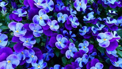 Pansy flowers, Pansies, Violet flowers, Garden, Spring