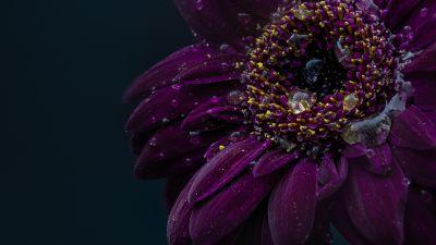 Gerbera flower, Purple flower, Dark, Rain droplets, 5K
