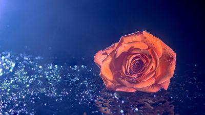 Orange Rose, Droplets, Blue background, 5K