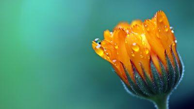 Marigold flower, Calendula, Blossom, Bokeh, Yellow flower, Dew Drops, Bloom, 5K