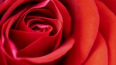 Red Rose, Macro, Closeup, Bloom, Blossom, 5K