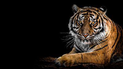Bengal Tiger, Big cat, Predator, Black background, Closeup