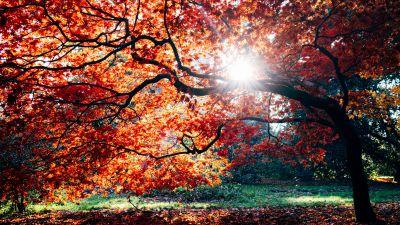 Autumn, Fall, Maple tree, Fall Foliage, Sunlight, Westonbirt, The National Arboretum, England, 5K