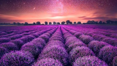 Lavender farm, Lavender fields, Sunset, Starry sky, Dawn, Purple, Landscape, Scenic