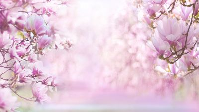 Magnolia flowers, Blossom, Pink background, Pink flowers