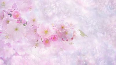 Cherry blossom, Pink flowers, Cherry tree, Nature, Pink background, Girly backgrounds, Spring