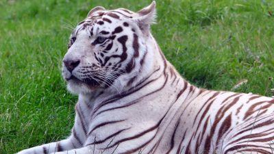 White tiger, Green Grass, Wild animals, Big cat, 5K