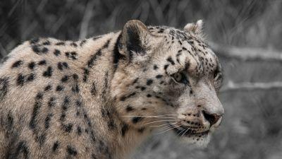 Snow leopard, White, Wildlife, Mammal, Zoo, Big cat