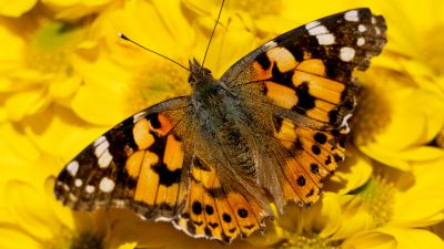 Painted Lady, Yellow flowers, Butterfly, Insects, Closeup