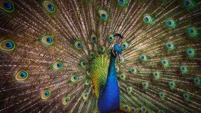 Blue Peacock, Peafowl, Beautiful, Green Feathers, Closeup, Bird, Colorful, 5K