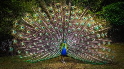 Peacock, Green Grass, Beautiful, Green Feathers, Bird, Trees, Colorful, 5K