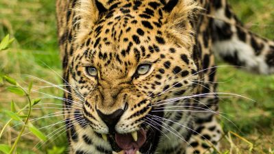 Leopard, Green Grass, Wild animals, Big cat, 5K