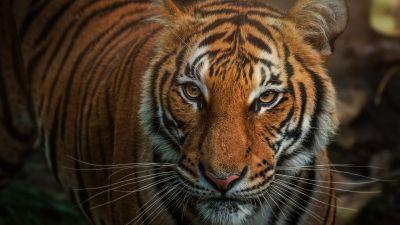 Bengal Tiger, Closeup, Big cat, Wild animals