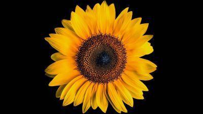 Sunflower, Black background, Yellow flower, 5K
