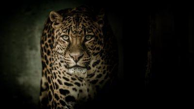 Leopard, Wild animal, Dark background