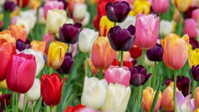Tulip flowers, Multicolor, Colorful, Tulips field, Purple, Pink, Beautiful, Flower garden, 5K