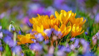 Saffron Flowers, Yellow flowers, Crocus flower, Bokeh, Colorful, 5K