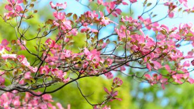 Pink flowers, Spring, Bokeh, Beautiful, Green, Bloom, 5K
