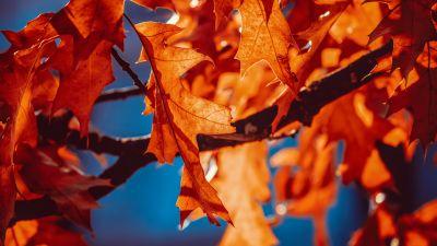 Autumn leaves, Orange Leaf, Sunlight, Closeup, 5K
