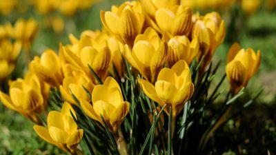 Yellow flowers, Saffron Flowers, Crocus flowers, Green Grass, Spring, Meadow, Blossom, Beautiful, 5K