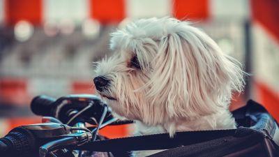 Maltese Dog, White, Motorcycle, Pet dog, Puppy, Cute dog, 5K