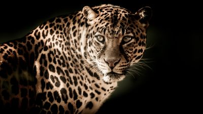 Leopard, Wildcat, Wildlife, Black background, Closeup