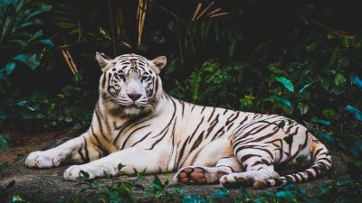 White tiger, Forest, Green leaves, Dark background, Big cat, Predator, Wildlife, Greenery, 5K
